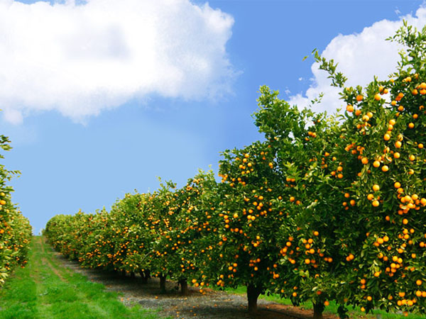 Citrus Fields in Sargodha pictures
